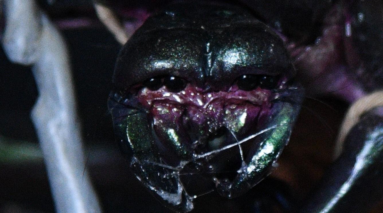 zoom beetle
